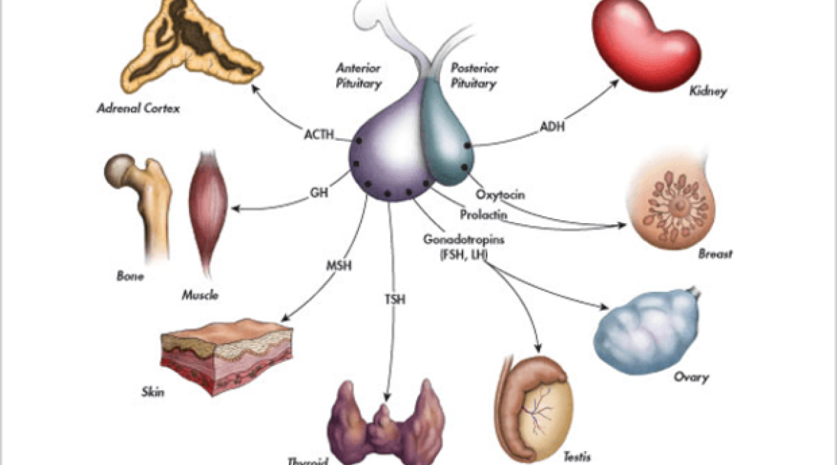 Follicle Stimulating Hormone FSH Function in Sexual Wellness and Maternity